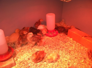 chicks week 2 8
